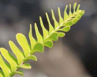 Nephrolepis abrupta, fougère de La Réunion.