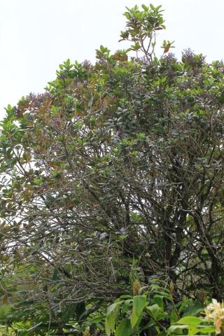 Nuxia verticillata Lam. Bois maigre.