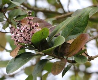 Nuxia verticillata Lam. Inflorescence.