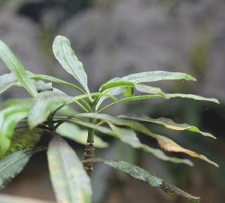 Ochrosia borbonica J.F. Gmel.