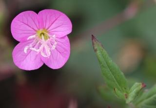 Oenothera rosea L'Hér. ex Aiton.