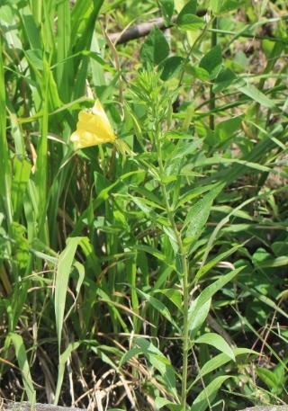 Oenothera stricta Ledeb. ex Link.