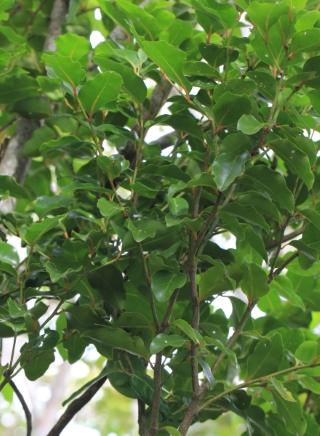 Olax psittacorum (Lam.) Vahl.