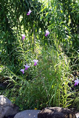 Arundina graminifolia. Orchidée Bambou.