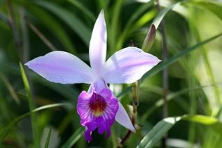 Fleur : Orchidée Bambou. Arundina graminifolia.