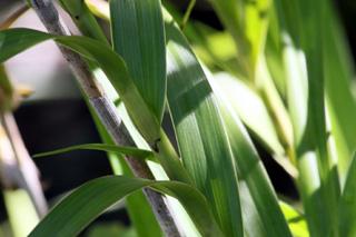 Feuilles et tiges : Arundina graminifolia. Orchidée Bambou.