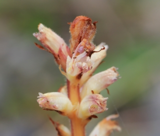 Orobanche minor Sm.