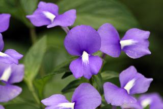 Achetaria azurea (Linden) V.C.Souza. Fleurs.