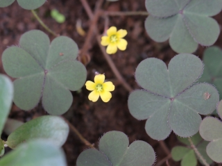 Oxalis corniculata L. Fleur.