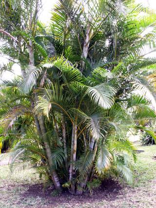 palmier cane d 39 or ou palmier d 39 arec dypsis lutescens. Black Bedroom Furniture Sets. Home Design Ideas