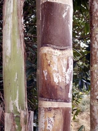 Bactris gasipaes Kunth.