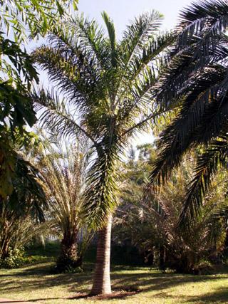 Palmier plume ou Palmier de Madagascar Dypsis madagascariensis.