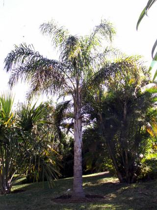 Palmier reine. Queen palm. Syagrus romanzoffiana.