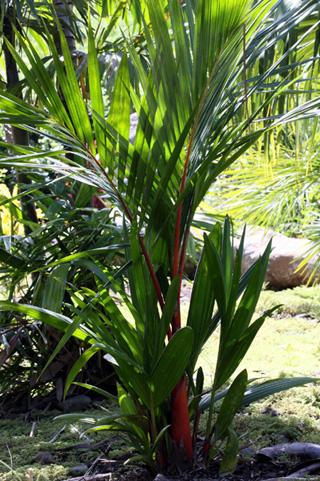 Cyrtostachys renda Blume. Palmier rouge à lèvres.