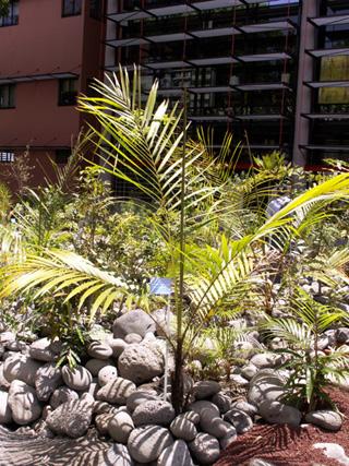 Acanthophoenix rousselii N. Ludw. Palmiste roussel.