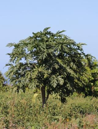 Carica papaya L. Papayer. Pied femelle.