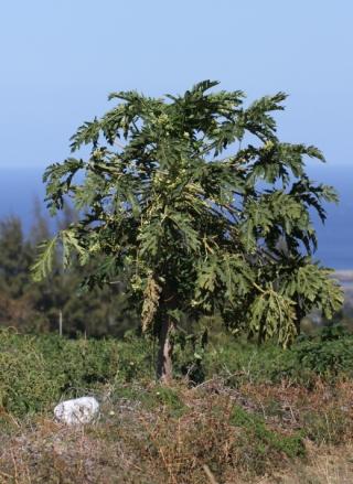 Carica papaya L. Papayer. Pied mâle.