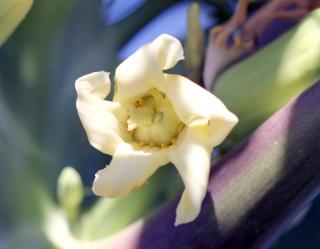 Fleur femelle de papayer. Carica papaya L.
