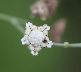 Parthenium hysterophorus L.
