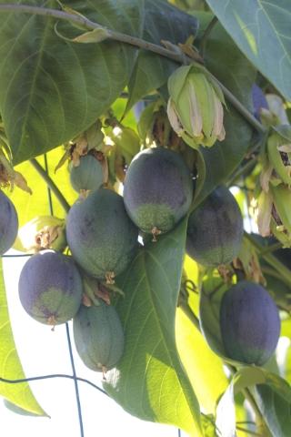 Passiflora maliformis. Fruits.