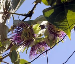 Passiflora maliformis. Fleurs.