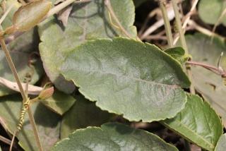 Feuille Passiflora miniata.