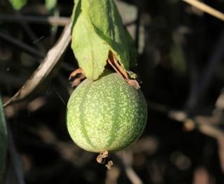 Fruit Passiflora miniata.