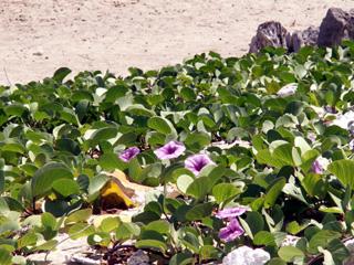 Ipomoea pes-caprae (L.) R. Br.