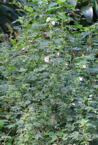 Pavonia columella Cav. Pavonie Rose.