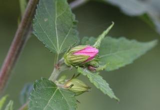 Pavonia columella Cav.