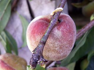 Prunus persica. La pêche.