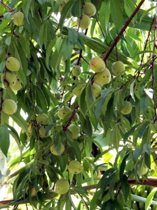 Prunus persica. Pêcher. Fruit : La pêche.
