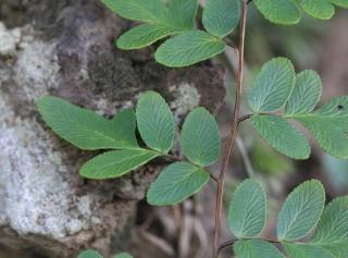 Pellaea viridis (Forssk.) Prantl.