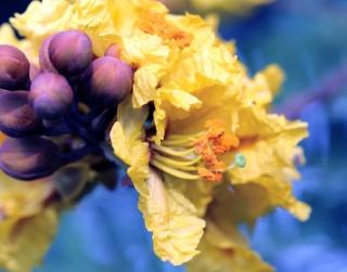 Peltophorum pterocarpum. Fleur.