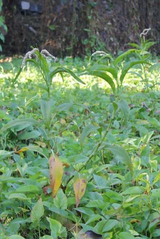 Persicaria senegalensis.