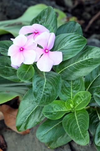 Pervenche De Madagascar Fleur Flore De La Reunion