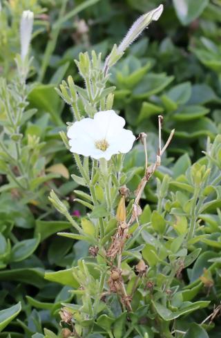 Petunia x hybrida hort. ex E. Vilm.
