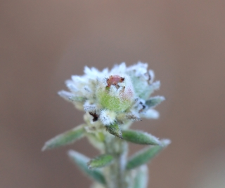 Phylica nitida Lam.