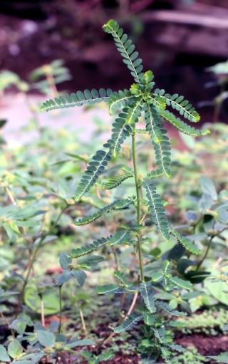 Phyllanthus amarus Thonn.