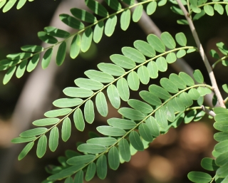 Phyllanthus casticum Soy.-Will.