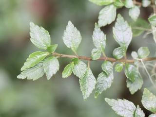 Pilea urticifolia (L. f.) Blume.