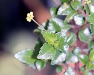Pilea urticifolia.