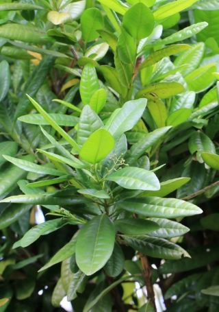 Pimenta dioica (L.) Merr.
