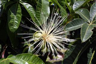 Fleur Pachira glabra Pasq.