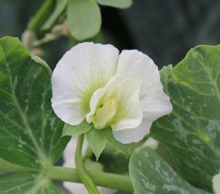 Pisum sativum L. Pois cultivé.