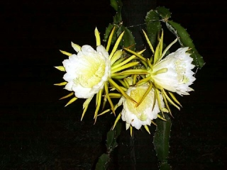 Fleurs Hylocereus undatus.