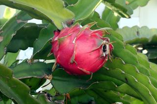 Hylocereus undatus (Haw.) Britton et Rose. Pitahaya ou pitaya Raquette Tortue.