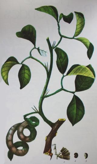 Pithecellobium unguis-cati (L.) Benth.