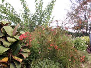 Plante corail, fontaine de corail, coral plant, goutte de sang. Russelia equisetiformis.