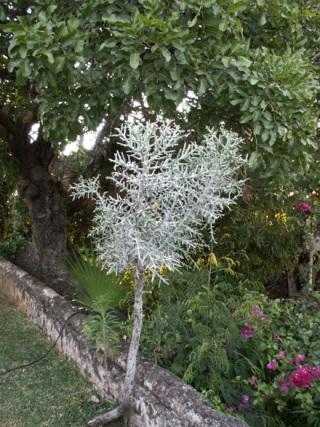 Euphorbia tirucalli L. Euphorbe Crayon. Plante Crayon.